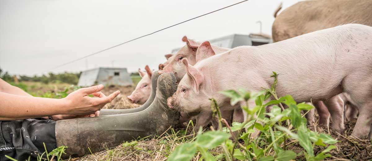Trine og grise